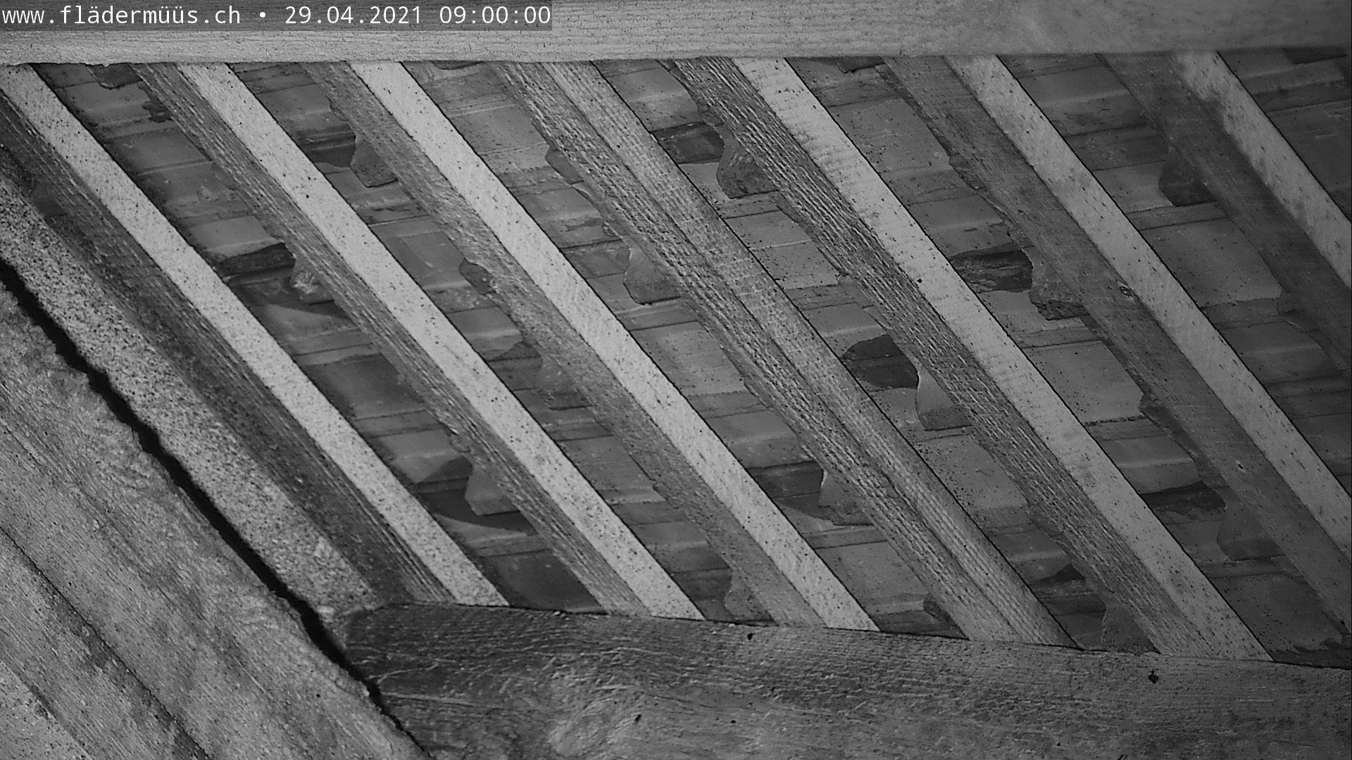 Bild aus der Mausohrwochenstube in Beggingen tagesaktuell 9 Uhr morgens