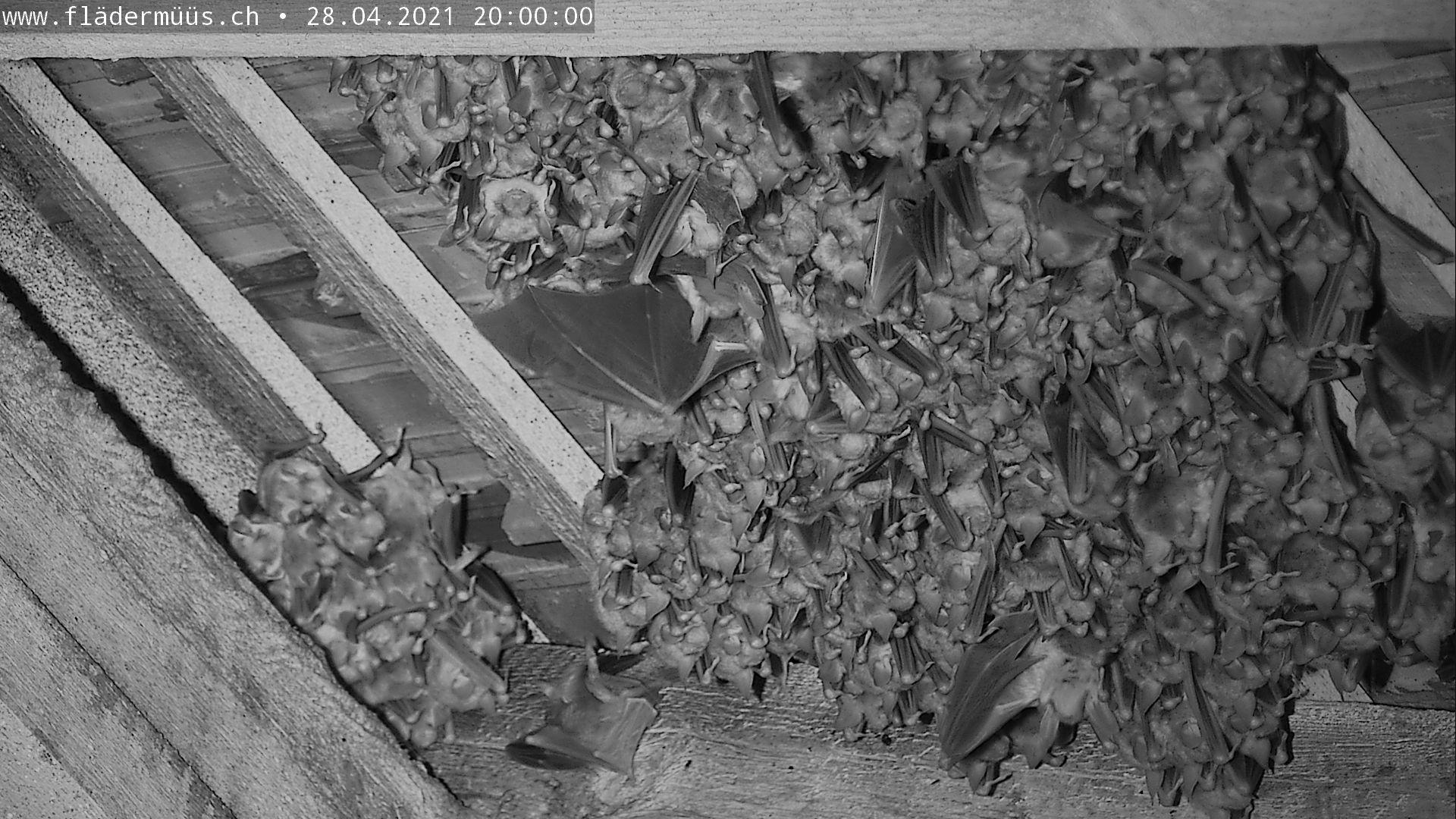 Bild aus der Mausohrwochenstube in Beggingen tagesaktuell 20 Uhr abends